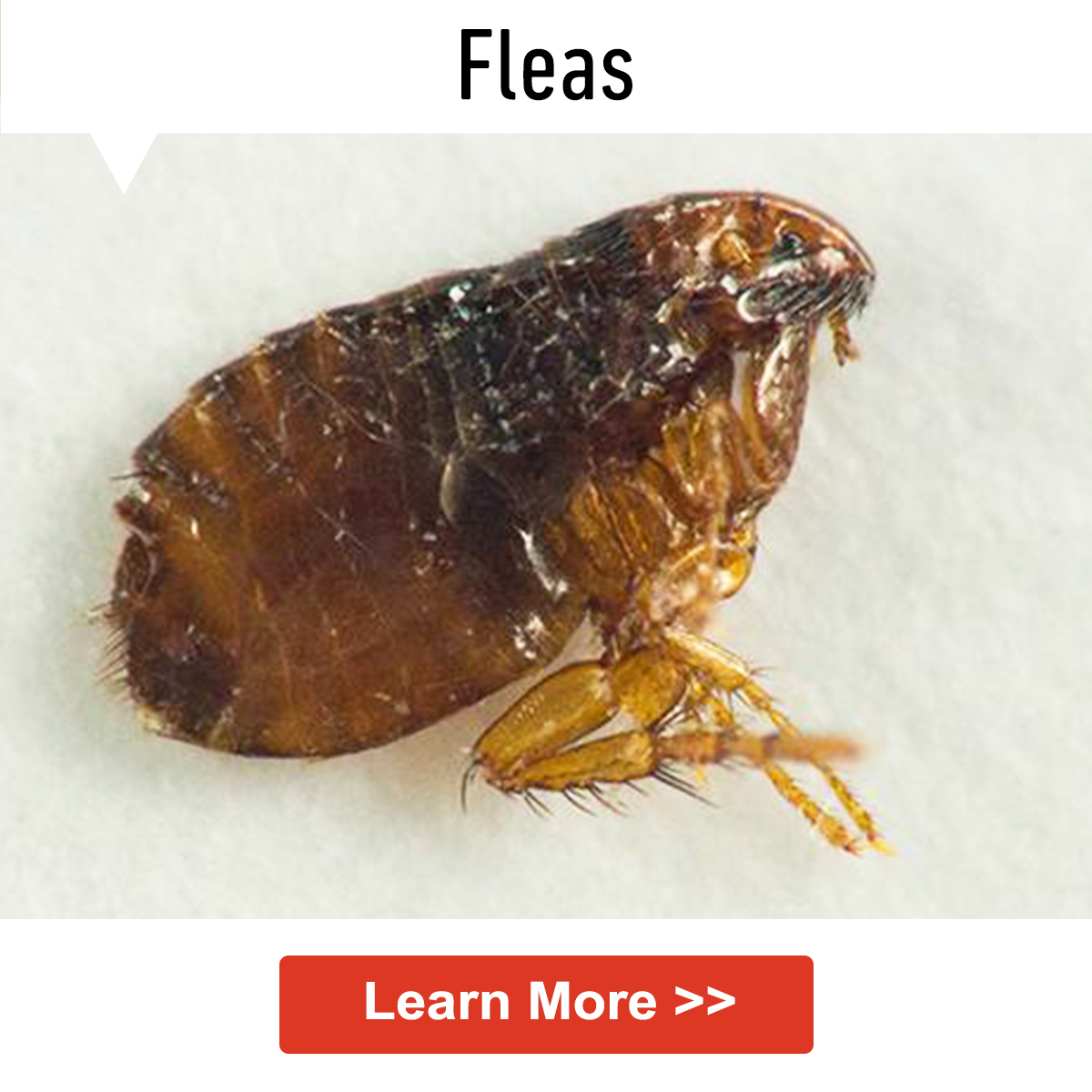 Enjoyable How To Get Rid Of Fleas In Your Home Camellatalisay Diy Chair Ideas Camellatalisaycom