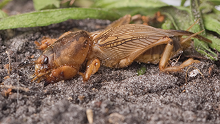 How to Control Mole Crickets in the Lawn