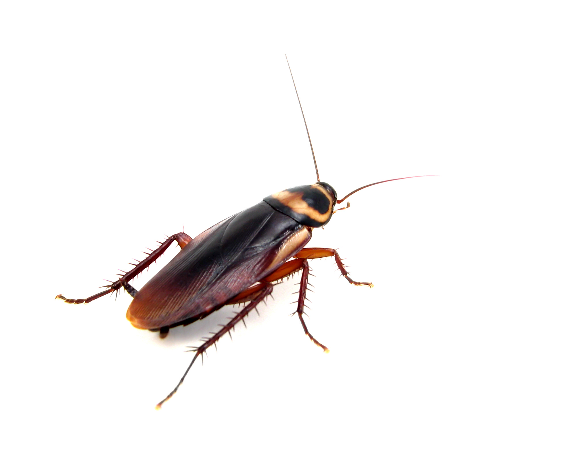 Roach on white background