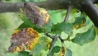 Plant Rust Disease - Identification & Control | Ortho