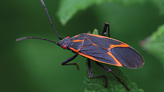 How To Kill Control Prevent Boxelder Bug Infestations Ortho