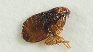 How To Get Rid Of Fleas In Your Home