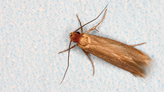 How To Control & Prevent Moth Infestations in your House - Ortho