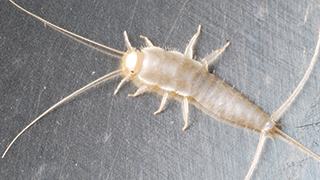 How To Control Amp Prevent Silverfish Infestations Ortho