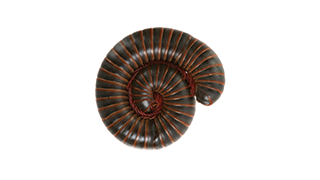 How To Kill and Control Millipedes in Your House - Ortho