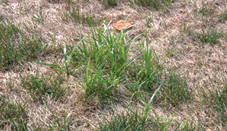 How To Get Rid of Nutgrass - Ortho