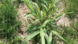 Foxtail Weed - Lawn Weeds - Ortho