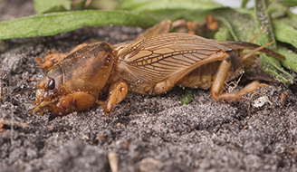 How To Control Mole Crickets In The Lawn Ortho