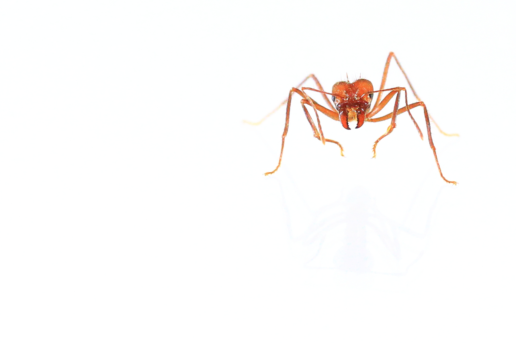 Fire ant on white background