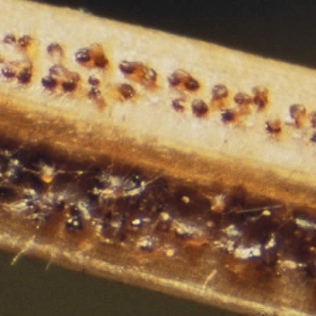 Image of Rhizosphaera Needle Cast
