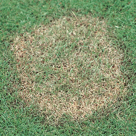 Image of Brown Patch
