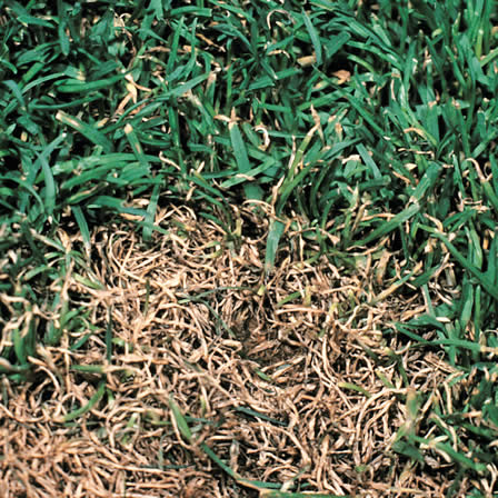 Image of Anthracnose - Lawns