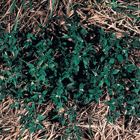 Image of Knotweed (Prostrate)