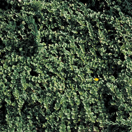 Image of Creeping Jenny