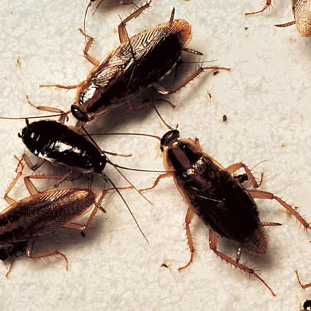 Image of Cockroaches