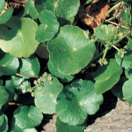 Image of Dollarweed (Lawn Pennywort)