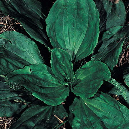 Image of Buckhorn Plantain