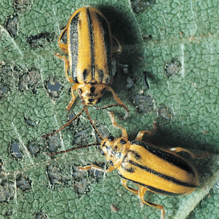Image of Beetles - Insects