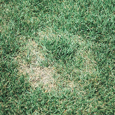 Image of Fusarium Blight