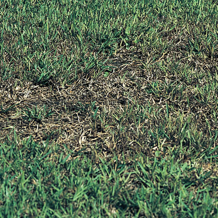 Take-all Root Rot of St  Augustinegrass - | Ortho