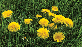 Dandelions growing in a field.