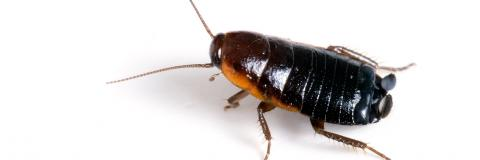 Cockroach on a white background.
