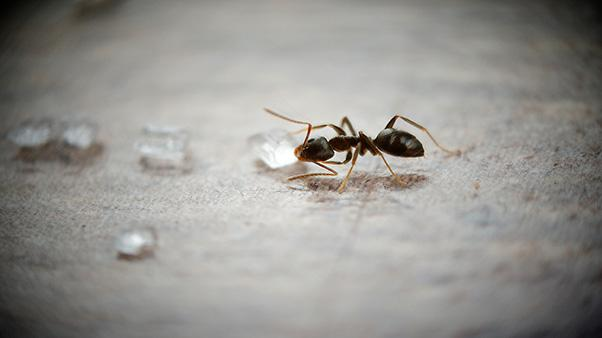 What Are Sugar Ants and How Do I Get Rid of Them? | Ortho