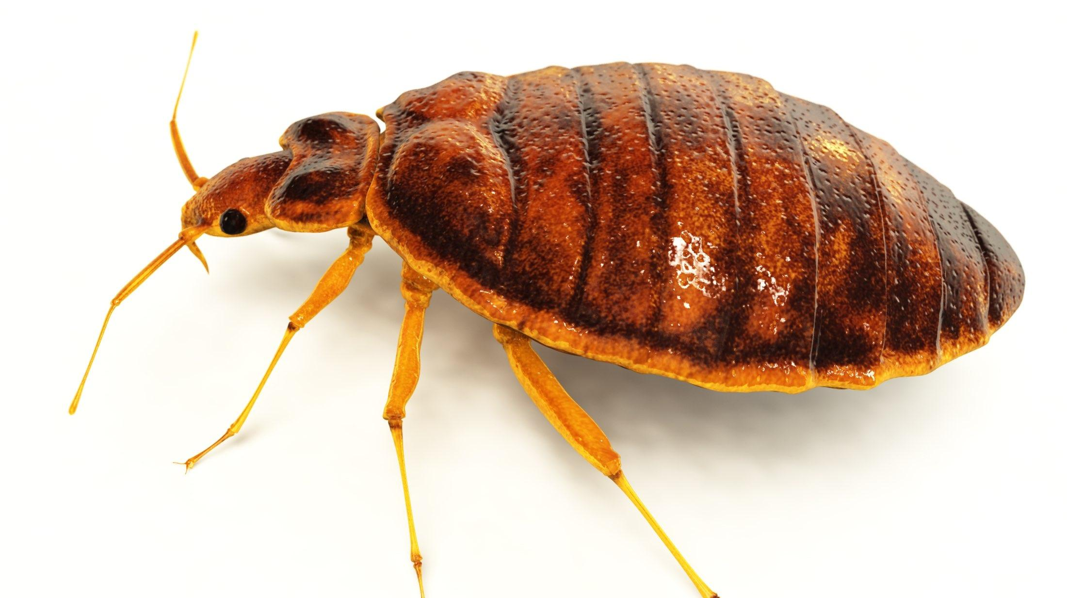 What Do Bed Bugs Look Like Bed Bug Basics