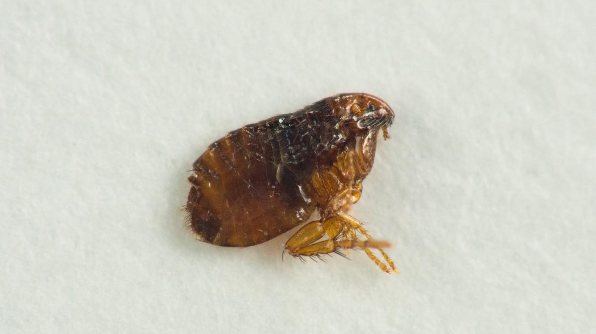 how to get rid of fleas in your house: close up image of flea