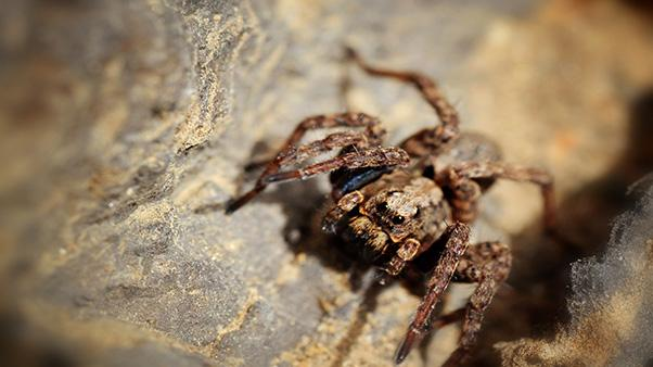 Wolf spider on a rock.