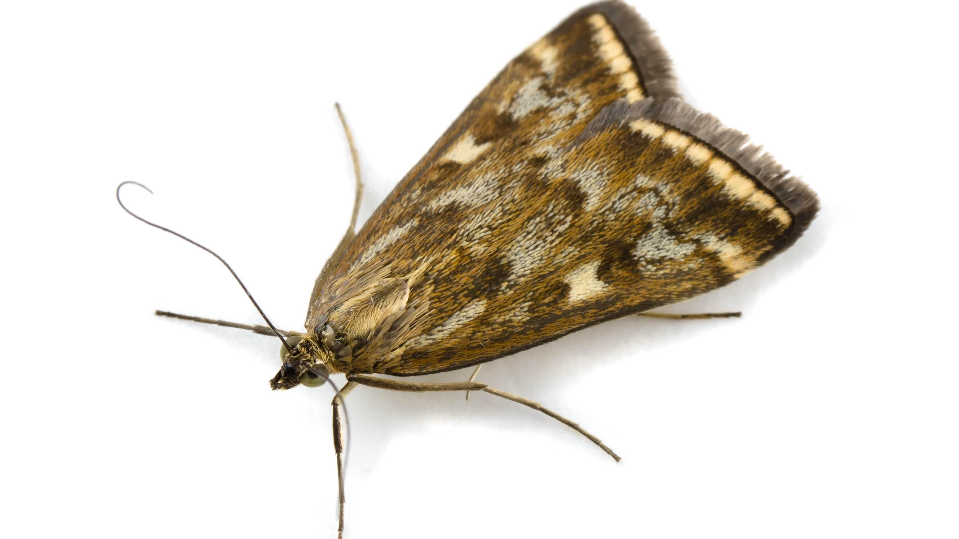 How To Control Prevent Moth Infestations In Your House Ortho