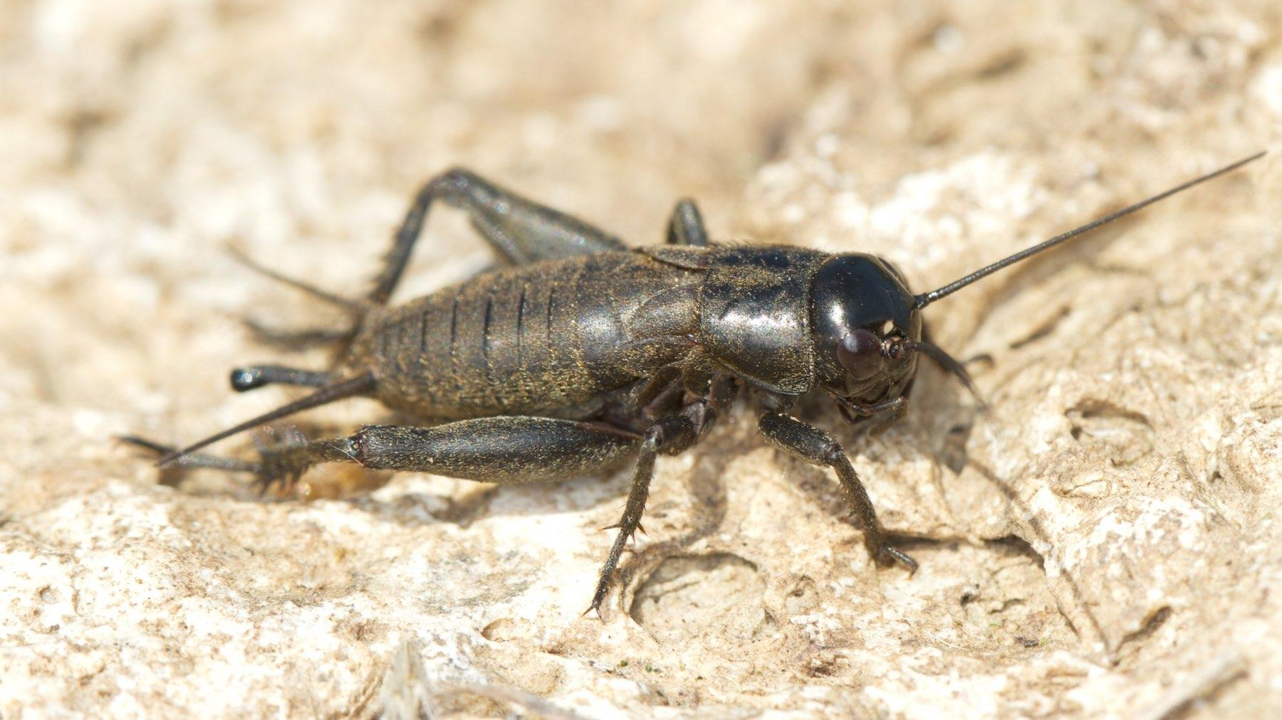 How To Kill Control Prevent Crickets Pests In The Home Ortho