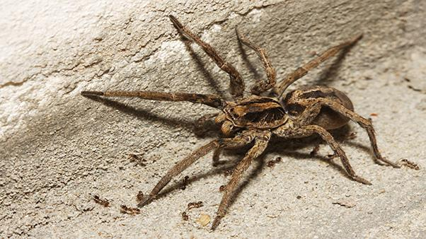 iStock 176103481 Header - How To Get Rid Of Wolf Spiders In The Basement