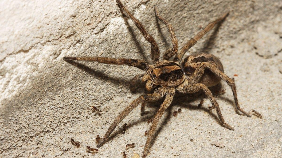 Big wolf spider on a basement floor.