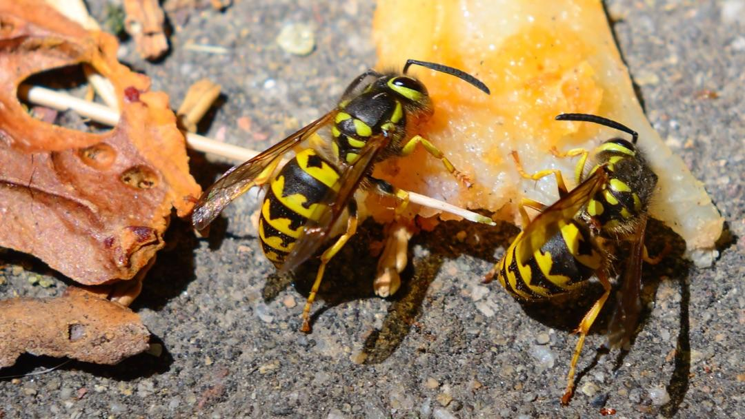 How To Kill Wasps Hornets Amp Yellow Jackets