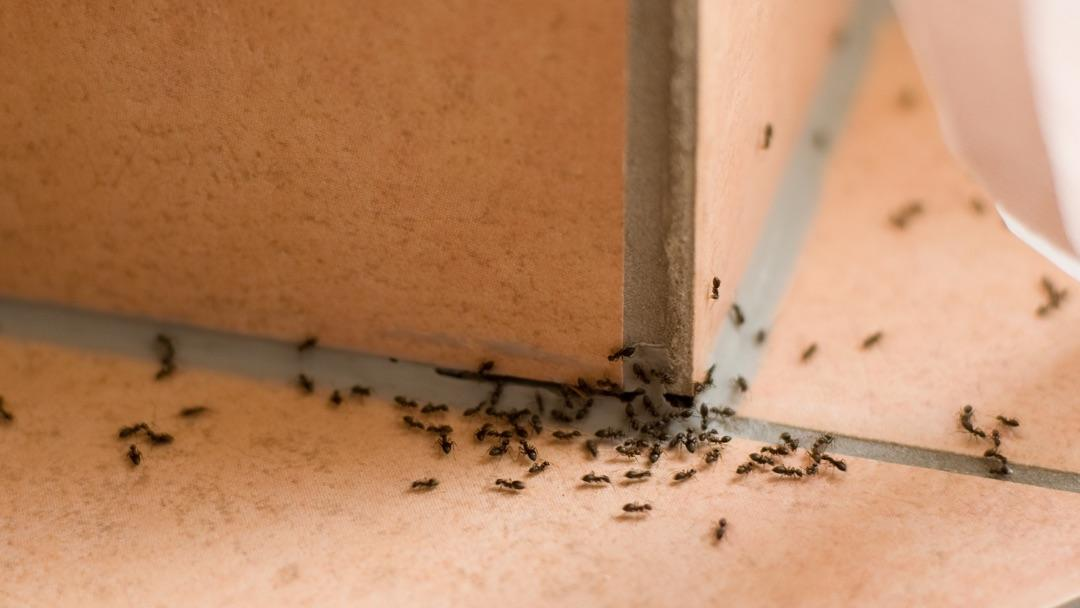 How To Get Rid Of Ants In The House Ortho