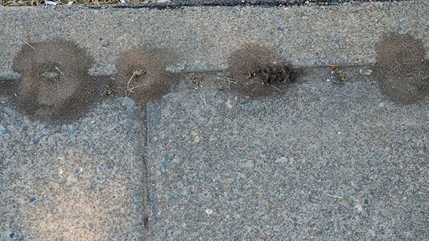 How to Get Rid of Pavement Ants | Ortho