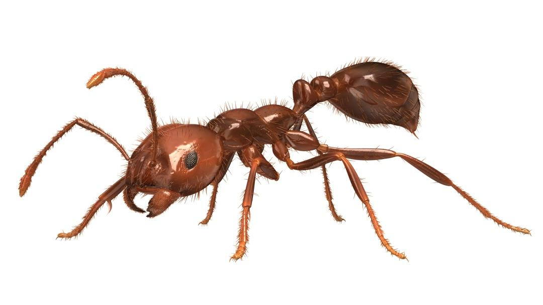 About the red imported fire ant