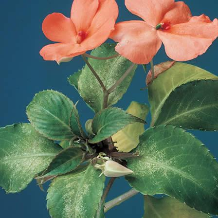 Image of Leaf Spot - Impatiens