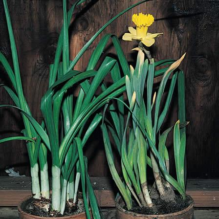Image of Failure to Bloom - Narcissus (Daffodil, Jonquil)