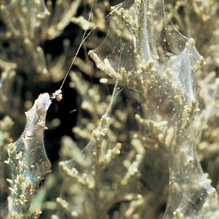 Image of Spider Mites - Cypress Family (Arborvitae)