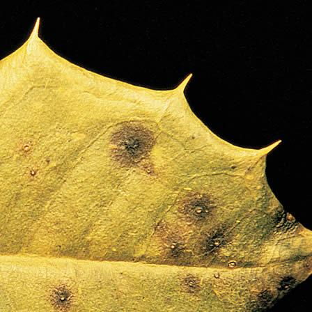Image of Leaf Spots - Holly