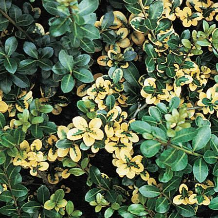 Image of Iron Deficiency - Holly