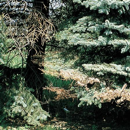 Image of Canker and Dieback - Spruce