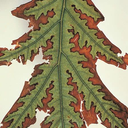 Image of Summer Leaf Scorch - Quercus (Oak)