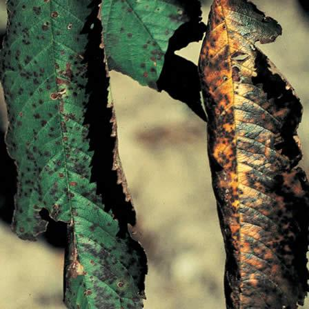 Image of Cherry Leaf Spot (or Yellow Leaf Spot)