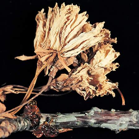 Image of Brown rot - Cherry