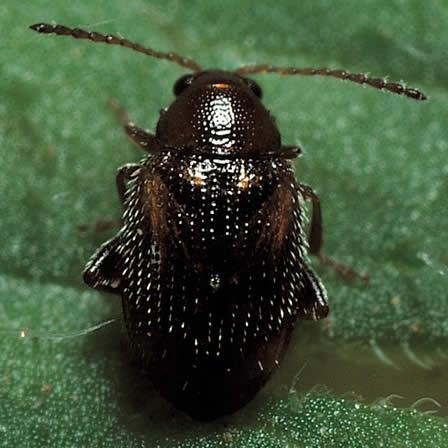 Image of Grape Flea Beetle