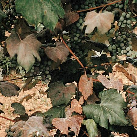 Image of Powdery Mildew - Grapes