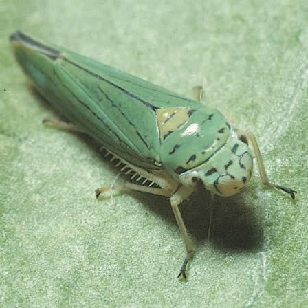 Image of Aster Leafhopper